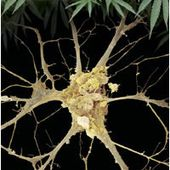 The Brain's Own Marijuana: Scientific American