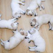 Puppy sleeping circle @ Teh Cute