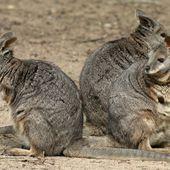 Wallaby d'Eugénie