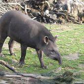 Zoo des Sables d'Olonne, L'Ecozoo des Sables d'Olonne, Tapir terrestre