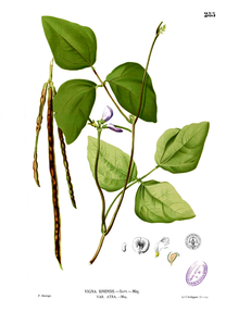 http://upload.wikimedia.org/wikipedia/commons/c/c5/Vigna_unguiculata_Blanco2.285.png