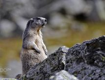 Marmotte dans le Queyras. Photo de Laurent