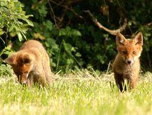A la rencontre des renardeaux