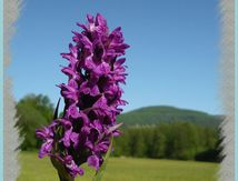 Orchis mascula, orchis mâle