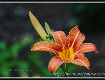 Fleur de lys d'Espagne ....