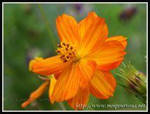 Le cosmos orange ...