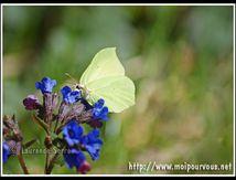 Le papillon citron sur la fleur de pulmonaire ...
