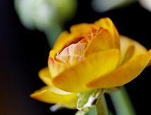 La Renoncule des Fleuristes