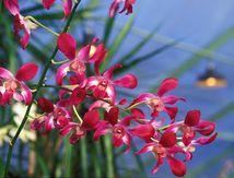 Rosine cultive les orchidées