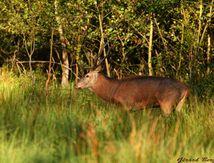 brame du cerf dans les Vosges du Nord