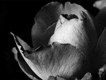 Rose rouge en noir et blanc