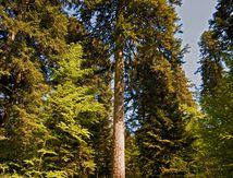 La forêt de la Joux et les sapins Présidents