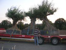 Livraison et plantation d'oliviers en Bretagne