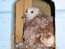 Les pigeons frisent eux aussi...