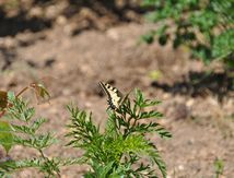 Le Machaon (papillon)
