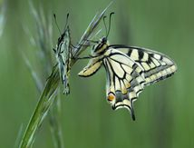 Duo de machaon. photo de Christabelle
