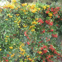 Pyracantha (buisson ardent)