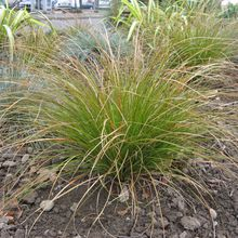 Carex testacea (carex orange)