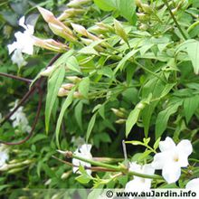 jasminum officinale