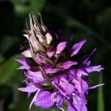 Orchis maculé