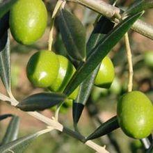 l'huile d'olive et l'olivier