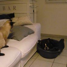 Gribouille, bouledogue français de 28mois, et son copain, Pilou (7 mois) le petit chat siamois