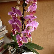 orchidée phalaenopsis à petites fleurs