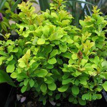 Berberis thunbergii 'Tiny gold'