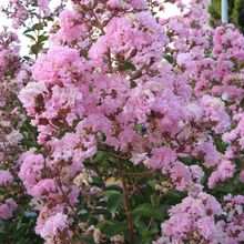 Lagerstroemia indica (lilas des indes)