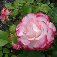 r comme rose