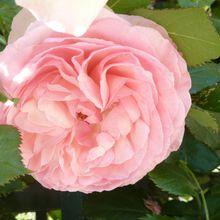 La Rose des Parigots