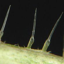 Le plantain soigne les piqûres d'orties - vrai-faux ?