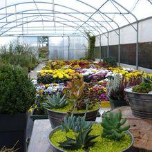 Les chrysanthèmes sont arrivés aux Pépinières du Littoral à PLOUGUIEL 22220