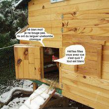 Les poules ne sortent pas quand il neige!