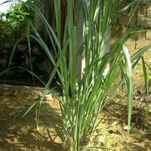 Les cannes à sucre de la commune de Selembao (2/2)