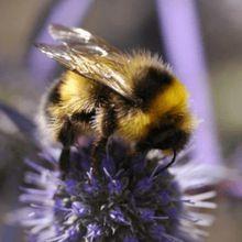 Le traitement des semences avec des insecticides neonicotinoïdes met-il en danger les abeilles sauvages?