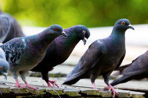 Dénigrés, les pigeons sont en réalité des...