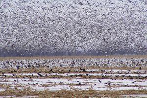 Aux États-Unis, des milliers d'oies des neiges meurent dans une eau polluée par une mine