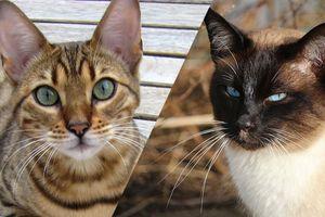 QUIZ : Reconnaîtrez-vous ces races de chats à partir de simples photos ?