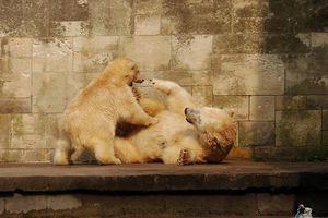 Eisbär Fiete im Zoo Rostock 15.08.2015 Teil 3