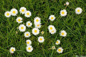 macérât de fleurs de bellis