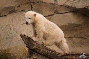 Eisbär Lili im Zoo am Meer 30.04.2016