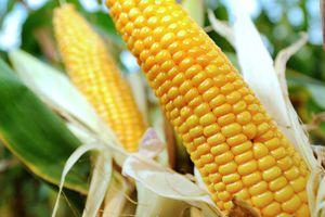 Le Conseil d'Etat autorise la commercialisation d'un maïs OGM de Monsanto