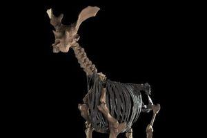 PHOTOS. Le sivatherium, vieil (et bizarre) ancêtre de la girafe, reconstitué pour la première fois