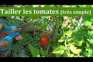 Comment tailler les tomate ?