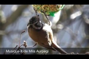 Video Mésange huppée sur liquidambar