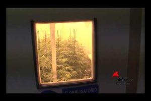 Nella serra della cannabis terapeutica 'made in Italy'