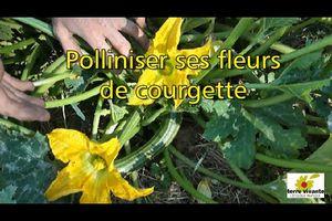 Polliniser ses fleurs de courgette