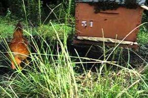 les poule, une arme efficace pour lutter contre les frelon asiatique