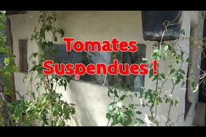 Tomates suspendues !